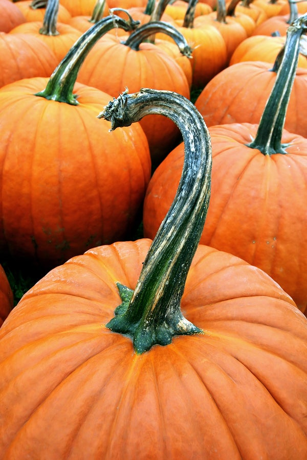 close up photo of pumpkins.